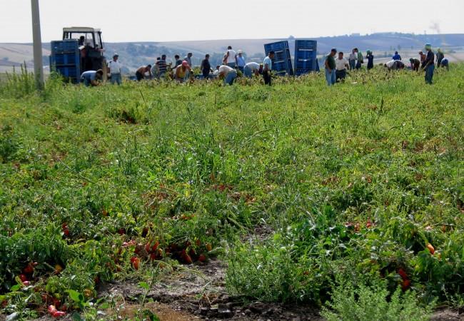 raccolta pomodoro